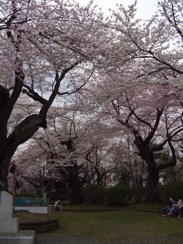 奥州市のさくら(桜)2009 2009/04/14